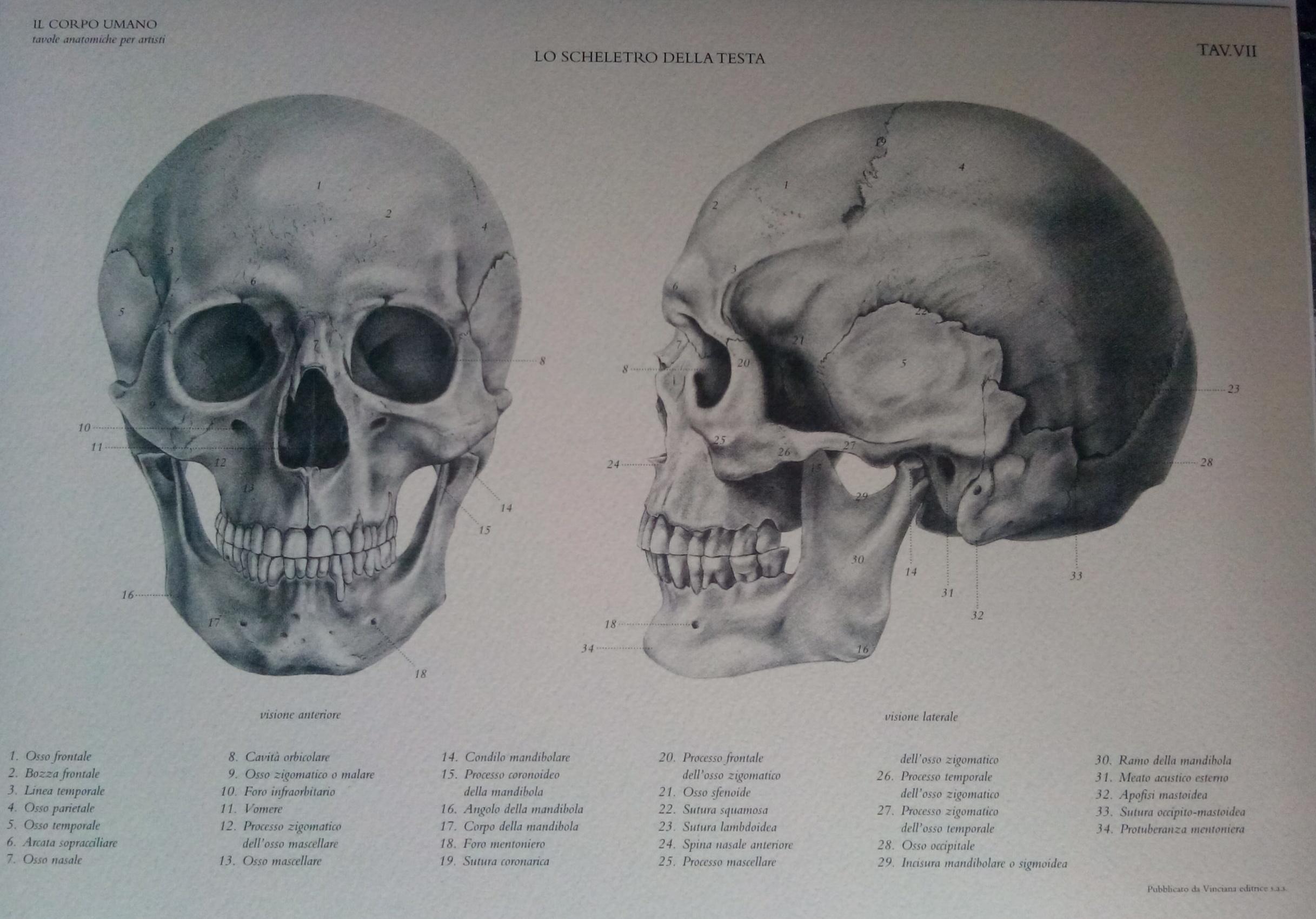 Skull anatomy drawing