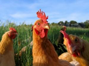 03_chicken